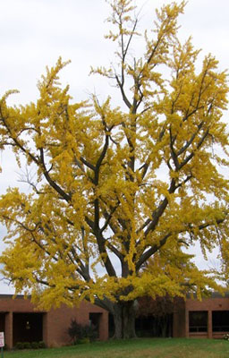 Ginkgo gift tree new growth gift trees home about us tree growth info affiliates contact us shop negle Image collections