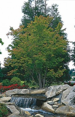 Green Leaf Japanese Maple Gift Tree New Growth Gift Trees