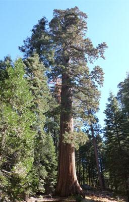 Giant Sequoia Tree Gift