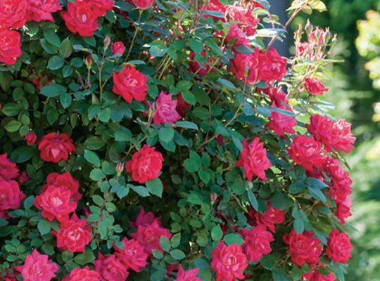 Red Double Knock Out Rose New Growth Gift Trees
